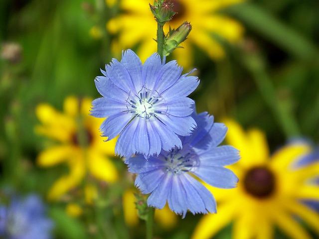 květy chrpy